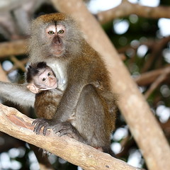Wild Monkeys in the Island (grass-lifeisgood) Tags: baby nature animal closeup forest canon monkey is place wildlife 100mm relationship retreat closeness motherhood tioman primate ef pulau behaviour bagus f28l