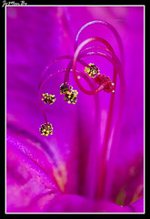 Dondiego de noche (Mirabilis jalapa) (jemonbe) Tags: blanco flor amarillo mirabilis periquito maravilla clavellina dondiego donpedros dondiegodenoche jemonbe rosaoscuro