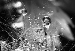 Gocce con fiori (annamariagiacomini) Tags: macro gocce soffione riflesso fioredicactus biancoenero