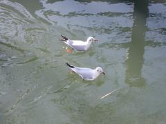 カモメ (patrusche9672) Tags: カモメ かもめ 真間川