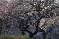 "Ume(Plum Tree) in Early Spring (seiji2012) Tags: 梅 朝 シルエット ""plum treeblossomkunitachihitotsubashi university 一橋大学"