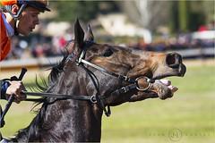 Caballos 2 (jumoga2011) Tags: caballos ingleses jumoga2011 cataluña catalunya tarragona vilaseca sigma 150500 canon7d carreradecaballos animales