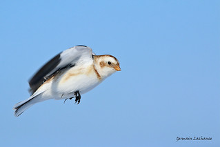 Plectrophane des neiges (Snow Bunting)