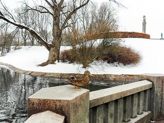A duck in Oslo