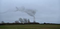 Starling murmuration (Mark T 1966) Tags: starlings murmuration woodford northamptonshire winter birds nature patterns
