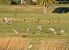 O1K_4899 (68photobug) Tags: 68photobug nikon d7000 sigmadg 150500mm polkcounty centralflorida usa birds outmybackdoor cranes sandhillcranes flight