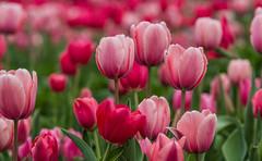 Shades of Pink & Red Tulips 27FebDABG2-0257 (918monty) Tags: tulipbouquet tulips springtime dallas texas dallasblooms flowerfestivals pinkandredtulips dallasarboretumbotanicalgardens bulbs tulipia springtimegardens tulipgardens