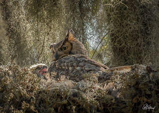 Great Horned Owl Mother sits with her chick
