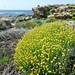 Helichrysum stoechas subsp. barrelieri