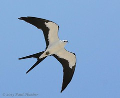 Swallow-tailed Kite in flight (Elanoides forficatus) (Paul Hueber) Tags: bird nature animal florida wildlife aves raptor handheld centralflorida pascocounty swallowtailedkite elanoidesforficatus hernandocounty canonef100400mmf4556lisusm