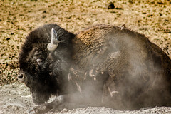 Bison Resting (FS_photos) Tags: canon landscape outdoors photography photo nationalpark buffalo photos yellowstonenationalpark yellowstone bison sl1 yellowstonenp outdoorsphotography 75300is 100d 75300mmis 01equipment