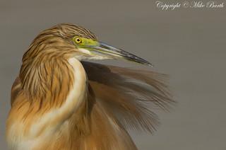 Squacco Heron (Squacco Heron (Ardeola ralloides))