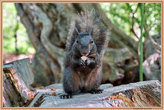 Black Squirrel in NYCentral park (DirkVandeVelde ( very busy)) Tags: new york nyc black fauna squirrel centralpark sony northamerica mammalia eekhoorn sciuridae chordata zoogdieren knaagdieren noordamerika