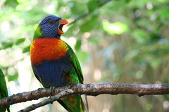 (Doodles N' Dabbles) Tags: tree bird nature colors catchycolors rainbow colorful feathers lorikeet aves avian