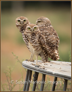 Burrowing Owl Trio (Ontario, California, USA)