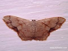 Geometer Moth - Family Geometridae - NMW 19 July 2014-014 (Dis da fi we) Tags: belize geometermoth geometridae moth nationalmothweek puntagorda toledo wildlife nationalmoth mothing cottages hickatee