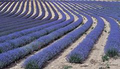 Rubans de lavande (Hélène Quintaine) Tags: fleur terre provence lavande champ coquelicot ruban vaucluse rang stchristol stchristoldalbion