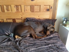 Red / Brown and Tan Doberman Pinscher Zeus Snoozing. (firehouse.ie) Tags: boy red dog brown black male dogs girl animal animals female germany watch hell guard tan hound german devil doberman breed dobie pinscher hounds k9 dobe dobermann dobies dobermans dobes pinschers dobermanns