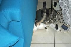 IMGP9533 (frankbehrens) Tags: cats cat chats chat gatos gato katze katzen