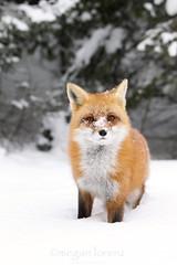 Cold Nose (Megan Lorenz) Tags: winter wild snow ontario canada nature wildlife fox getty algonquin provincialpark wildanimals redfox naturephotocontest mlorenz meganlorenz