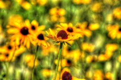 Singled Out (Phyllis74) Tags: park flower yellow beckleycreekpark