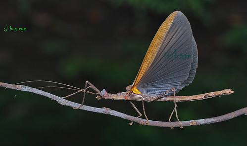 ตั๊กแตนกิ่งไม้ / Phasmatodea / Stick insect
