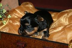 Yorkie Puppy in a Box! (d_r_photo1) Tags: portrait dog macro yorkie gold case hund yorkshireterrier makro nahaufnahme koffer welpe