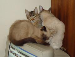 DSC05267(1) Quantos gatos cabem num monitor, num dia frio? Denise na frente e a me Blanche lavando o filho Junior (Johannes J. Smit) Tags: cat kat chat gato katze gatto