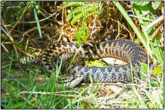 Sunbathing Adder (Vipera Berus) (Sharon Emma Photography) Tags: uk wild english nature nikon reptile snake wildlife ngc bite british viper sunbathing naturalworld adder venomous vipera viperaberus serpentes viperidae diamondpattern ovoviviparous d7100 viperinae nativebritishspecies nikond7100 sharondowphotography