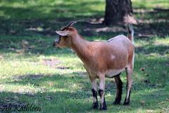 Goat (heeygloria) Tags: travel canada tourism nature animals outdoors photography zoo winnipeg wildlife manitoba assiniboinepark assiniboineparkzoo