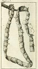 Anglų lietuvių žodynas. Žodis cestode reiškia cestoodas lietuviškai.