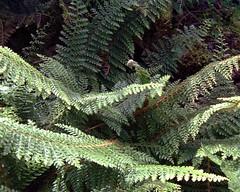 Polystichum setiferum Acutilobum Group