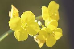 Rucola flower
