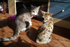 Sunbathing (Izzi :)) Tags: cats cat kitten kitty kittens bengal kittys pedigree