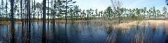 Big Bend Wildlife Management Area (FWC Research) Tags: frog research amphibians survey gopher dipnetting fwc fwri easterntigersalamander stripednewt ornatechorusfrog frostedflatwoodssalamander bigbendwma myfwc myfwccom winterbreedingamphibiansurvey campblandingmilitaryreservation
