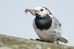 lunch time! (robvanderwaal) Tags: bird nature netherlands birds nederland vogels natuur vogel 2014 whitewagtail motacillaalba wittekwikstaart rvdwaal robvanderwaalphotographycom