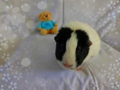 Peppa pig (jayneyyy) Tags: blackandwhite pet pets white cute love nature beautiful beauty animal animals piggy guinea pig guineapig cavies cavy furry soft colours pastel gorgeous adorable fluffy domestic pigs pastels lovely furball peppa squeek pastelcolours