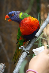 Red Breast (McKenzie's Photography) Tags: life blue red wild pet color green bird nature outside zoo fly dallas branch texas bright outdoor flight wing beak feather seed snack meal twig perch tropical aviary feed curious entertain