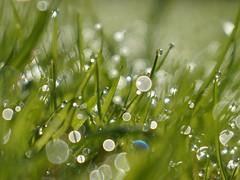 Morning Dew (Ben Wightman) Tags: grass dewdrops bokeh dew waterdrops itsajungleoutthere macromondays