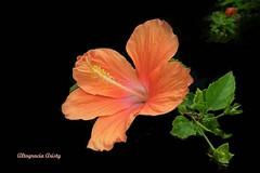 Hibisco/Hibiscus (Altagracia Aristy Sánchez) Tags: américa dominicanrepublic hibiscus hibisco tropic caribbean antilles laromana cayena caribe repúblicadominicana caraïbe trópico antillas quisqueya fujifilmfinepixhs10 fujihs10 fujifinepixhs10 altagraaciaaristy