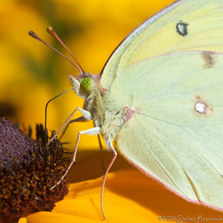 Orange or Clouded Sulphur