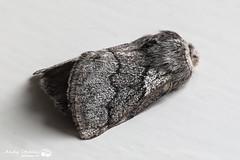 Pale Eggar, Milovaig, Isle of Skye (Andy Stables) Tags: skye canon scotland glendale moth pale crataegi eggar 70d milovaig trichiura