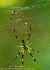 Golden Silk Orbweaver (sjsimmons68) Tags: animals spiders insectsandspiders goldensilkorbweaver centralwindspark seminoleco fllocations