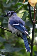 Blue Jay_9957