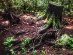pacific spirit stump (chrisyakimov) Tags: trees vancouver forest stump pacificnorthwest pacificspiritpark iphonography