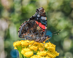 Red admiral (mnielsen9000) Tags: macro butterfly bokeh redadmiral d600 vanessaatalanta nikon105vr