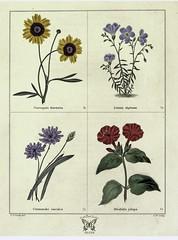 Anglų lietuvių žodynas. Žodis catananche caerulea reiškia katananche caerulea lietuviškai.