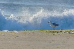 DSC_5448 (logancros) Tags: ocean morning sea summer bird beach nature water animal landscape dawn newjersey sand nikon warm surf waves seagull nj shore fowl