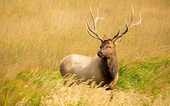 Bull Elk (matt.sellars) Tags: travel mountain mountains animals colorado hiking wildlife elk nationalparks rockymountainnationalpark