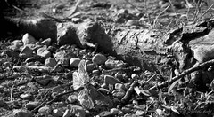 IMG_4174 (Bhavikp) Tags: wood blackandwhite nature canon flies